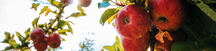 apple-apple-tree-apples-branch-574919.jpg