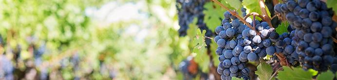 grapes-on-vineyard-during-daytime-39351.jpg