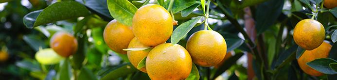 mandarin-fruit-2135677.jpg